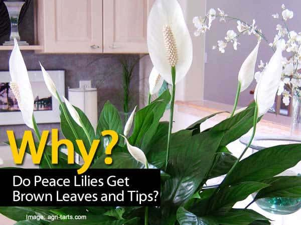why do peace lily get brown leaves and tips. Black Bedroom Furniture Sets. Home Design Ideas