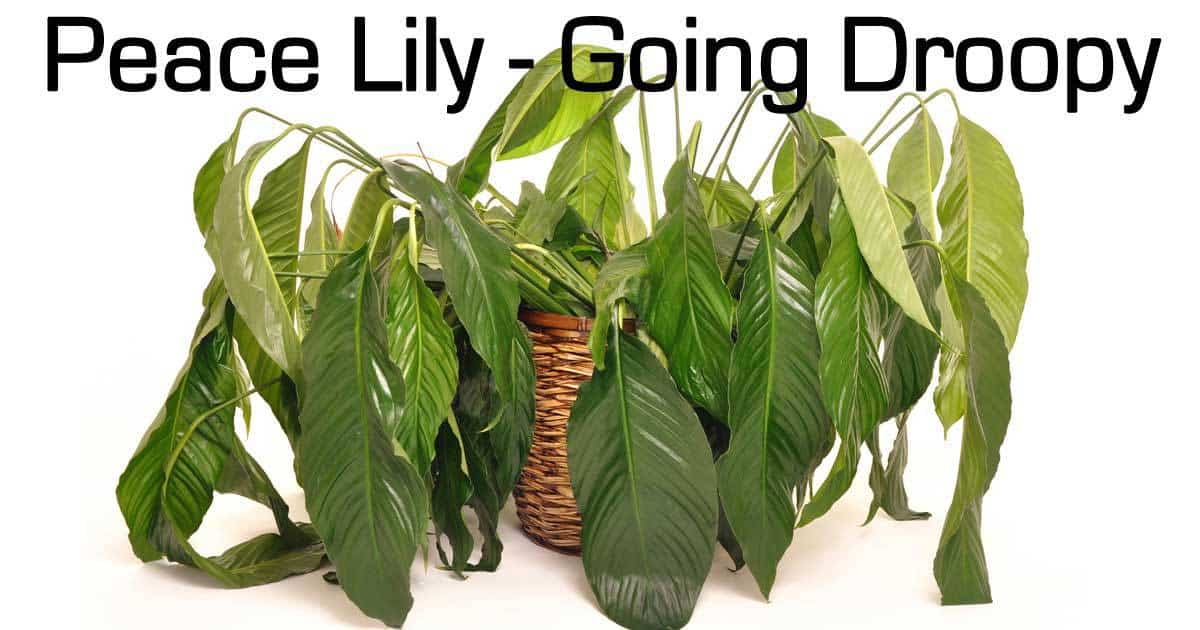 Peace lily care questions and answers on spathiphyllum - Plants you cant kill dont give up ...