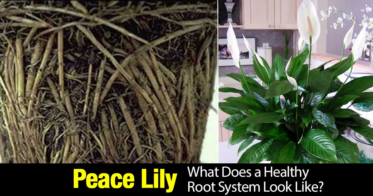 peace-lily-root-system-02292016