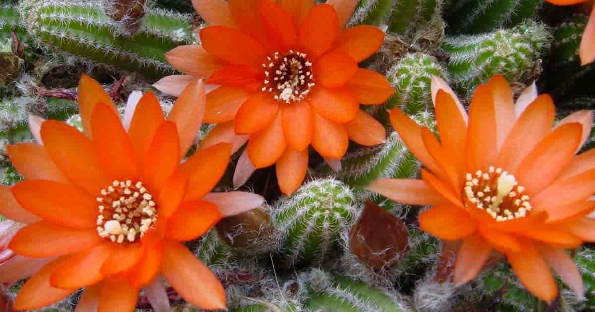Flowering Peanut Cactus aka Echinopsis Chamaecereus