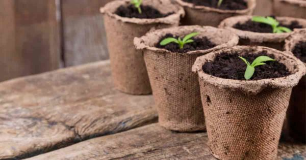 peat pots with seedling started