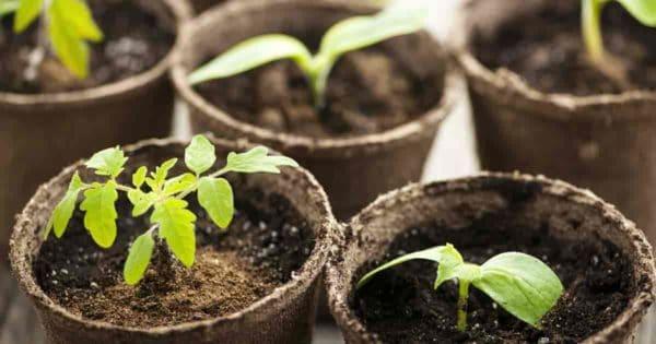 seedlings growing in peat pots