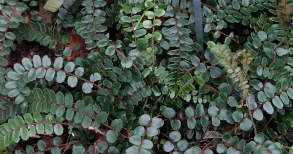 button fern growing as a ground cover