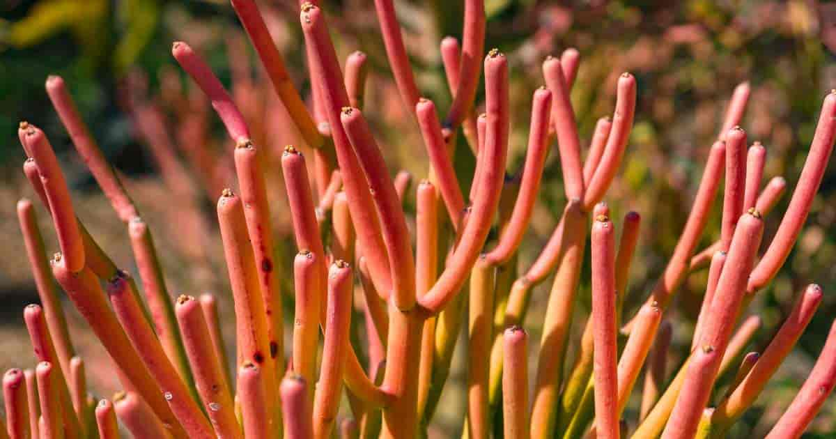 Firestick Plant Care How To Grow Pencil Cactus Euphorbia Tirucalli