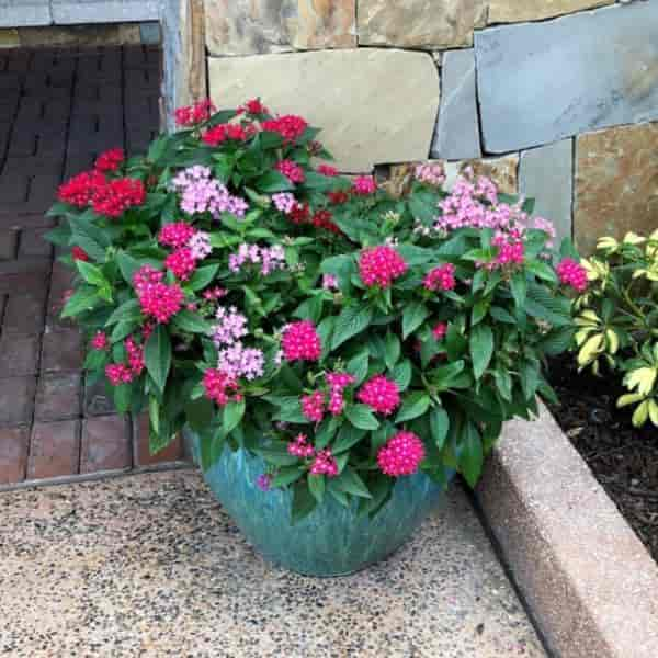 Flowering Pentas annual growing in decorative container - Disney World Orlando