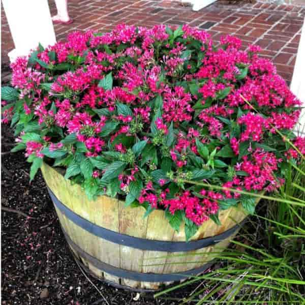 Wooden barrel planted with Pentas plants