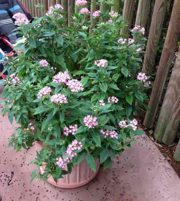 Pentas plant how to care for pentas flower potted pink pentas legoland sept 2017 mightylinksfo