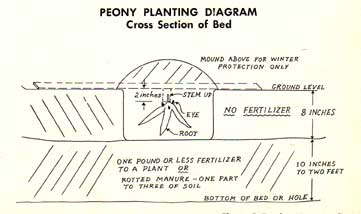 peony-planting