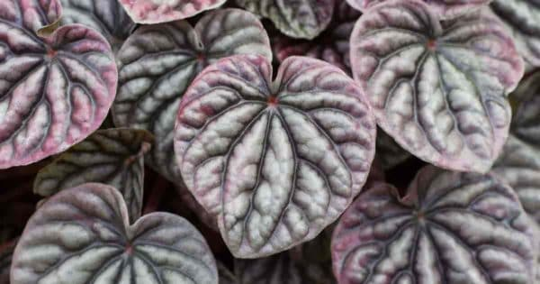 Crinkly leaf ripple caperata peperomia up close
