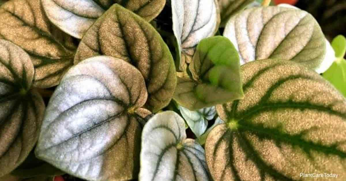 Beautiful silver foliage of Peperomia Frost