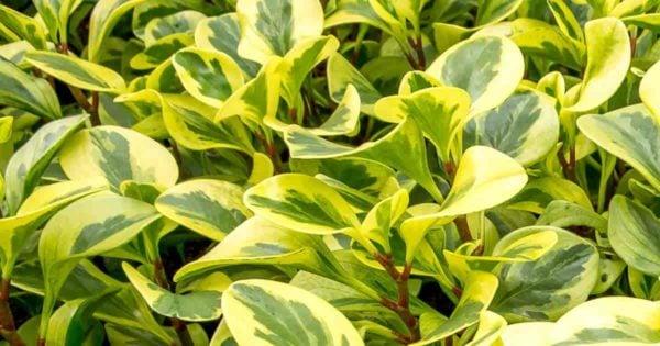 attarctive foliage of  peperomia obtusifolia variegata