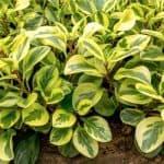 Peperomia Obtusifolia Variegata Care Tips