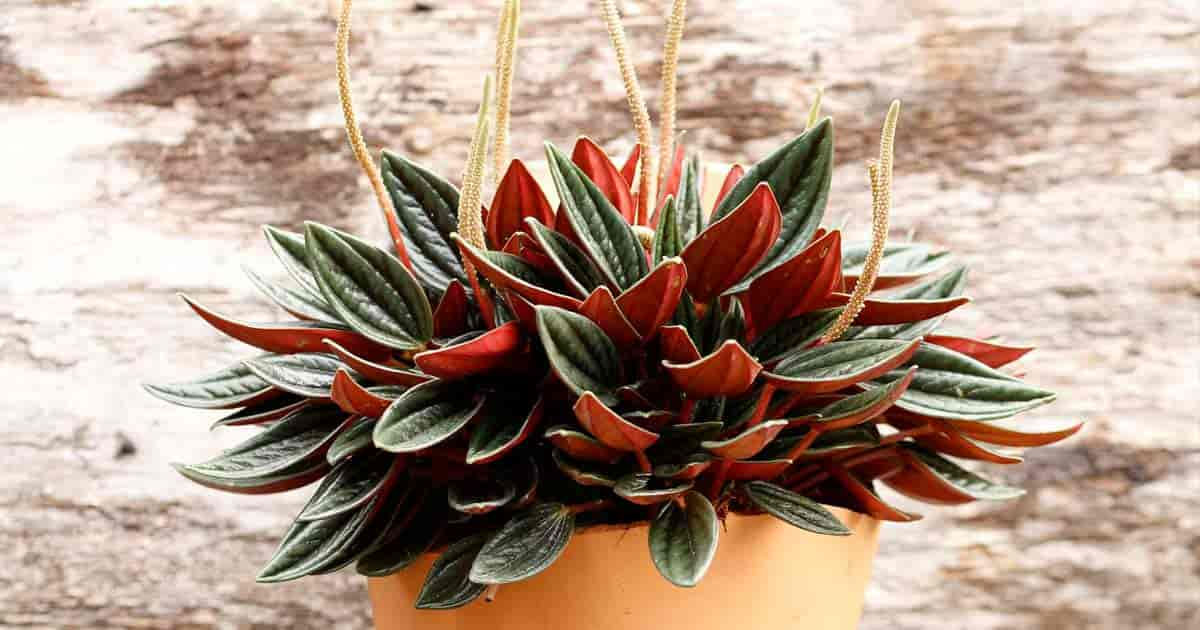 How To Grow And Care For Peperomia Rosso