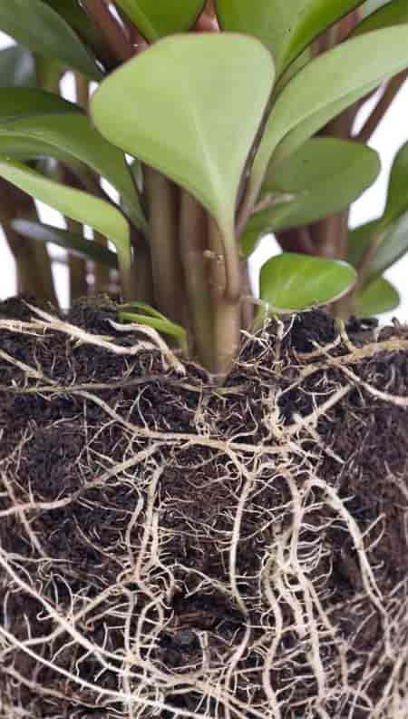 good peperomia plant care produces a healthy root system