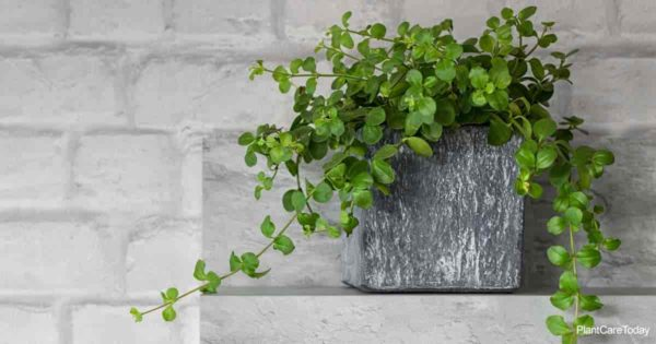 potted plant of Peperomia rotundifolia with its trailing leaves