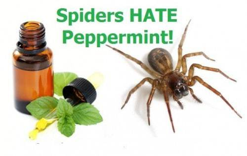 Why Is Peppermint Oil A Natural Pesticide