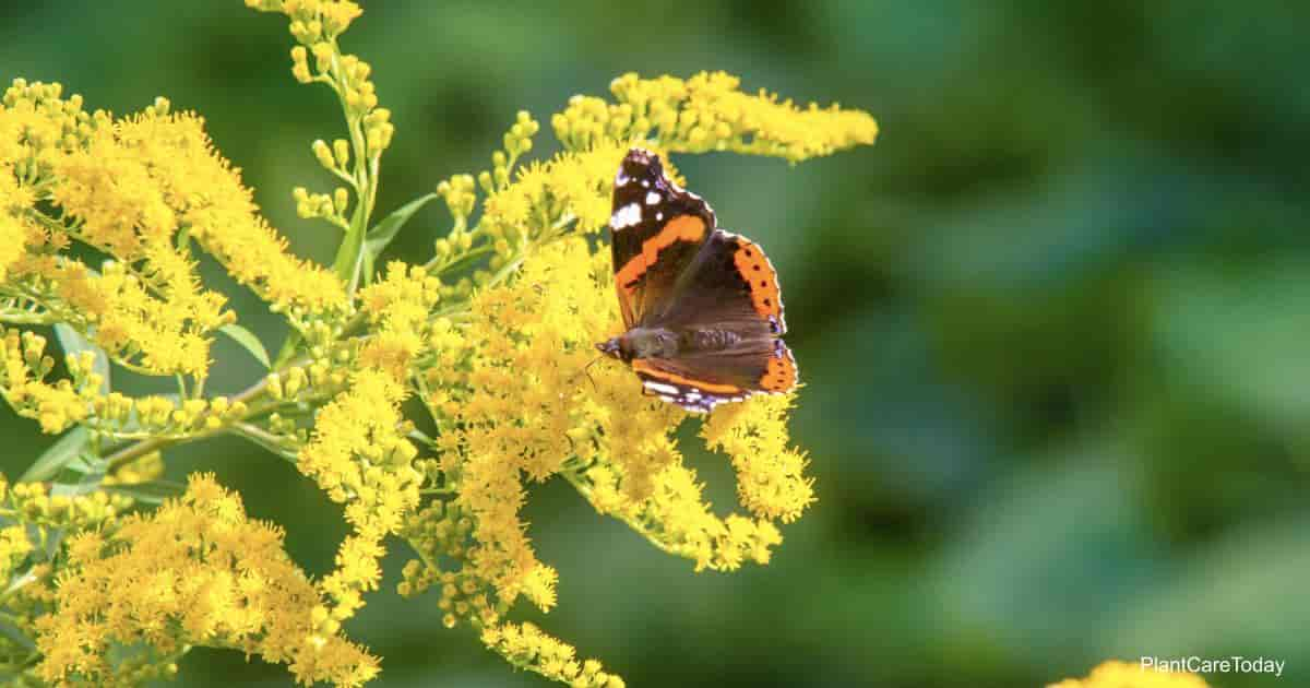 Butterfly feasting on goldenrod nectar