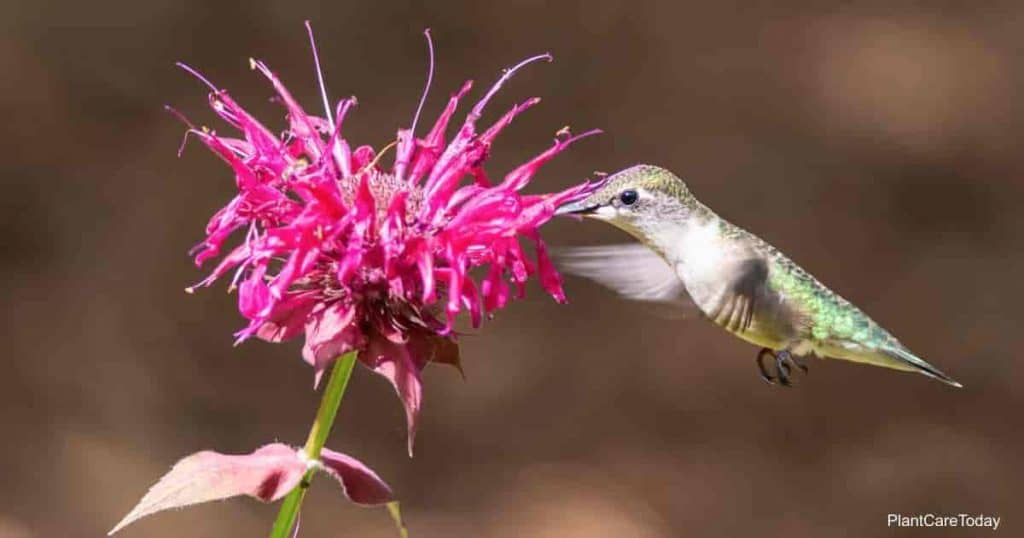 hummingbird collecting perennial bee balm  nectar
