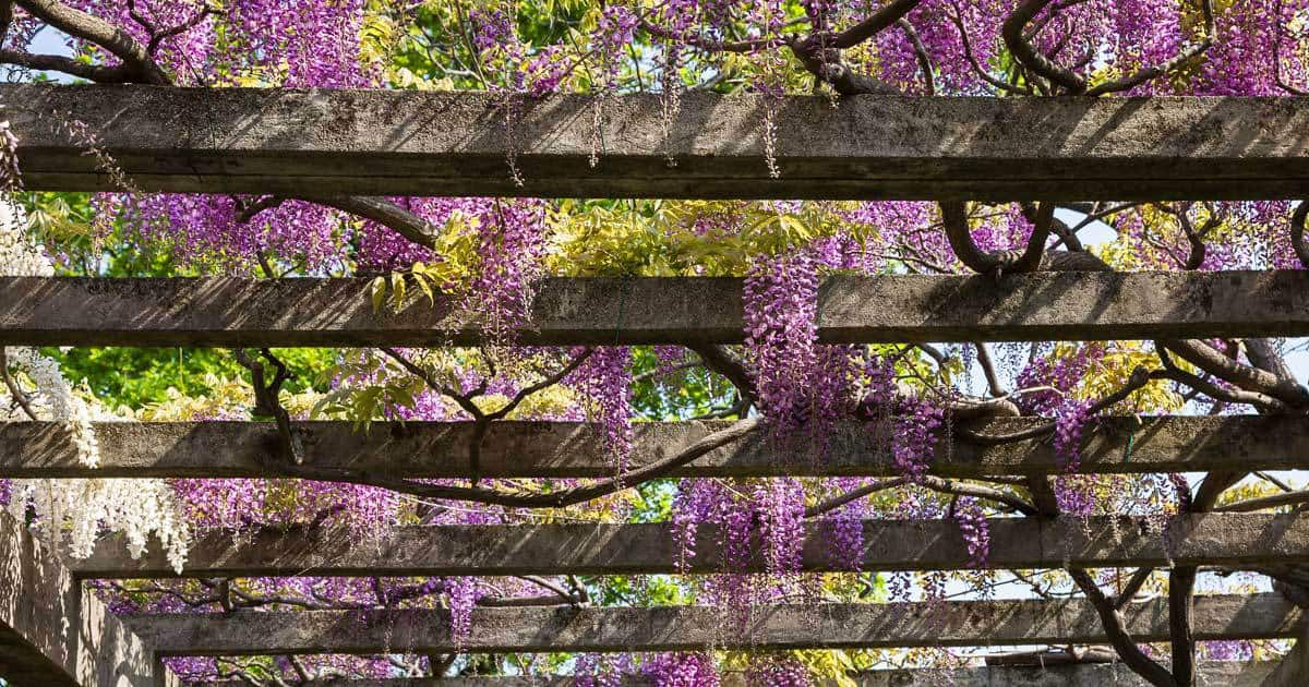 pergola-plants-11302016 - 13 Best Plants For Your Pergola