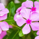 HOW TO Plant, Grow And Care For The Colorful Periwinkle Plant