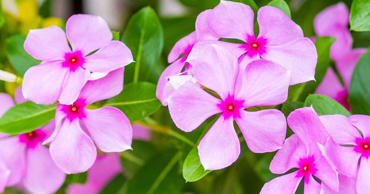 Vinca Periwinkle with its pretty flowers, easy care annual flower