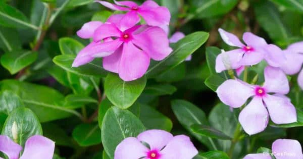 purple pink flowers of the periwinkle plant