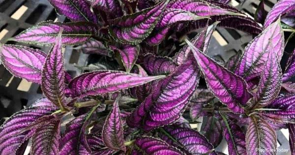 purple leaves of Persian Strobilanthes Plant