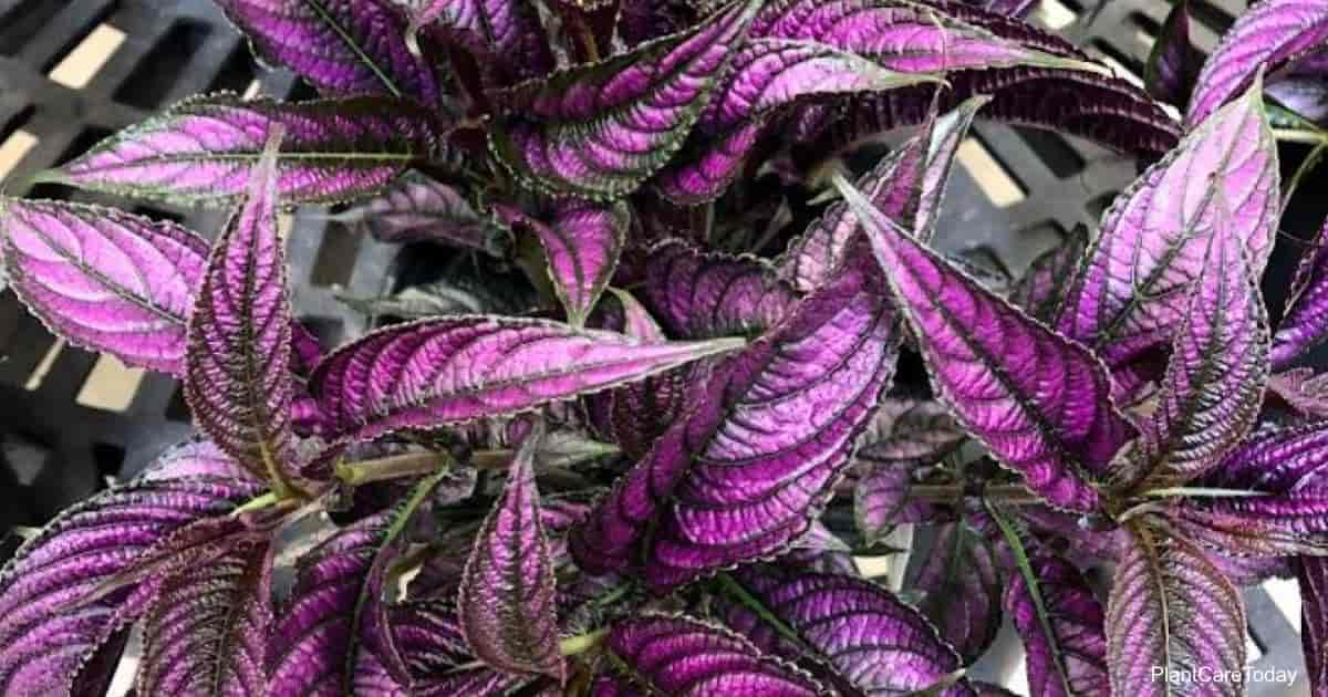 iridescent purple leaves of Persian Shield Strobilanthes Plant