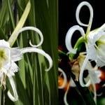 Growing Peruvian Daffodil Lily Bulbs