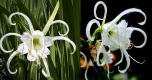 Floweris of the Peruvian Daffodil Spider Lily