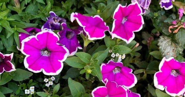 blooming petunia plants