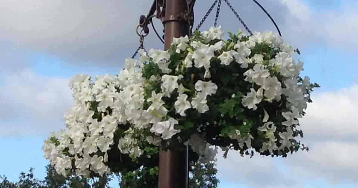 white petunia hanging baskets at Disney World Magic Kingdom Orlando