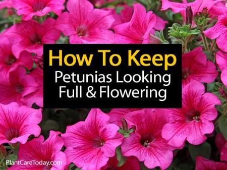 petunias-full-and-flower-053114