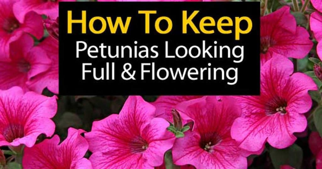 Colorful flowers of the Petunia