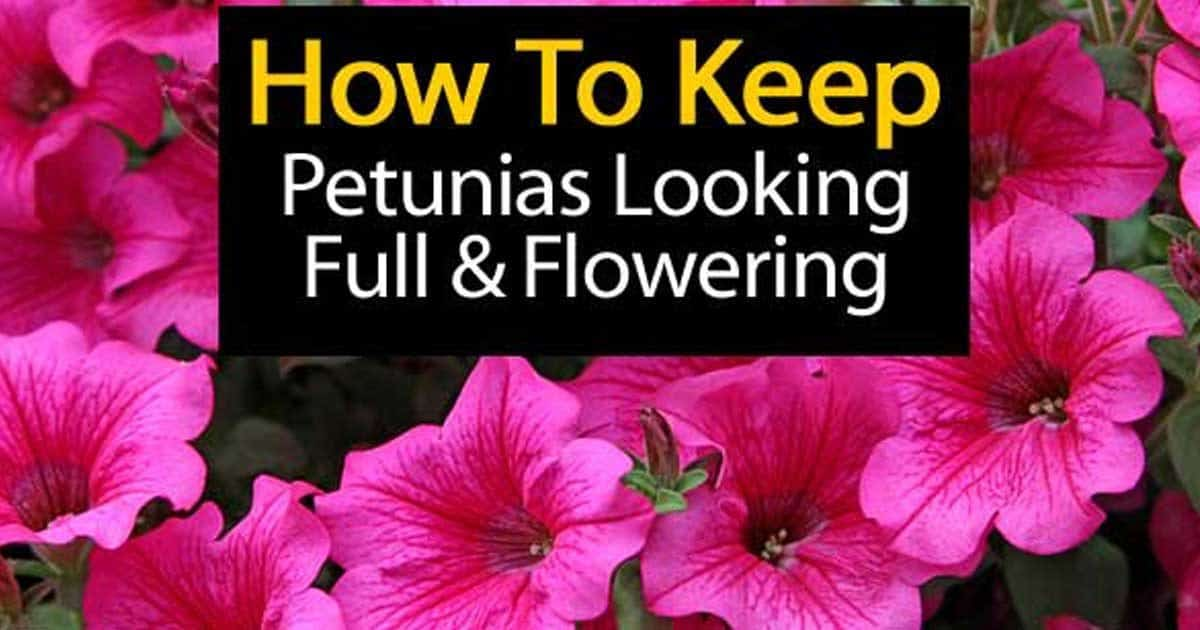 How To Keep Petunias Looking Full And Flowering
