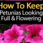 Growing Petunias: How To Care For And Keep Petunias Blooming
