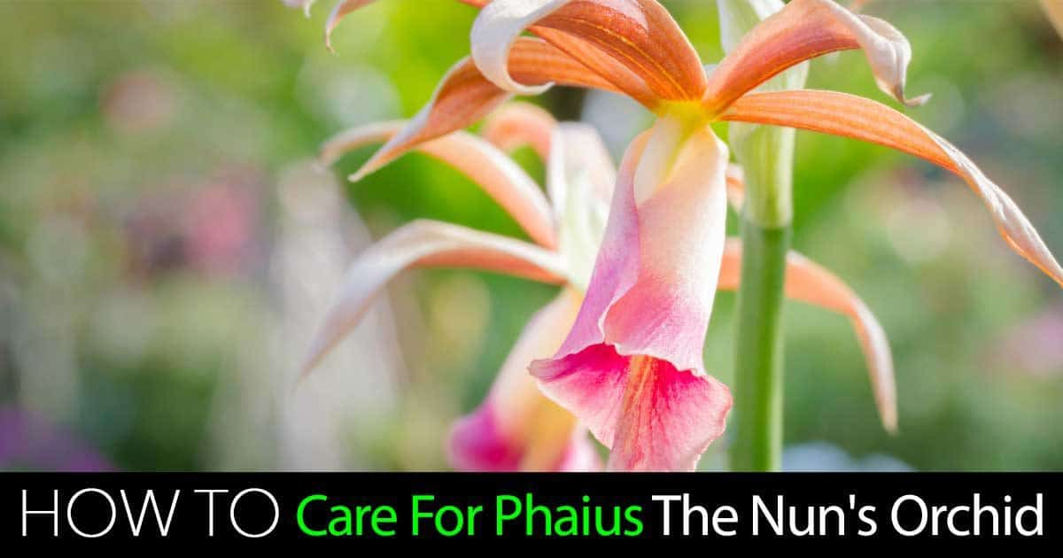 How To Grow And Care For The Phaius Nun Orchid