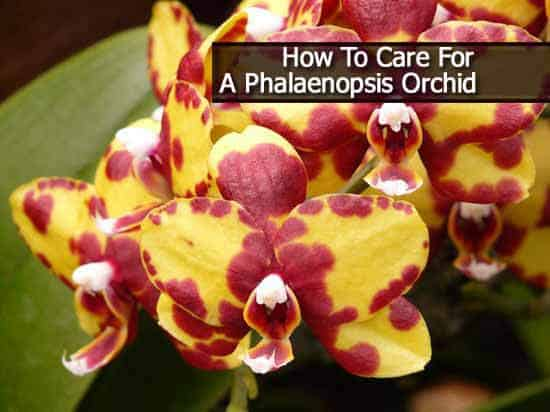 Growing Tip Video How To Care For A Phalaenopsis Orchid