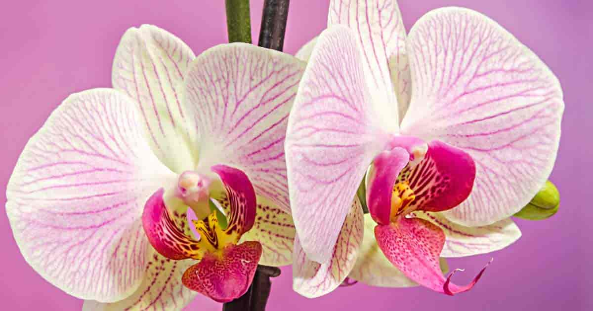 Candy striped Moth Orchid