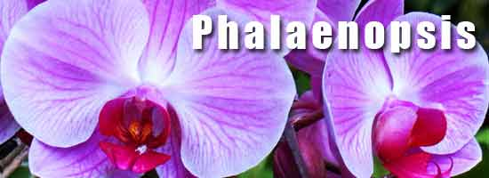 phalaenopsis-orchid-550