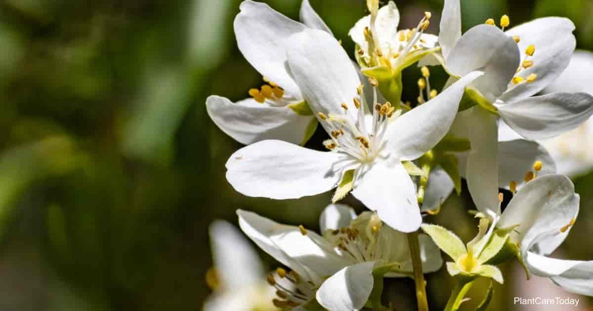 Flowering mock orange (Philadelphus lewisii)