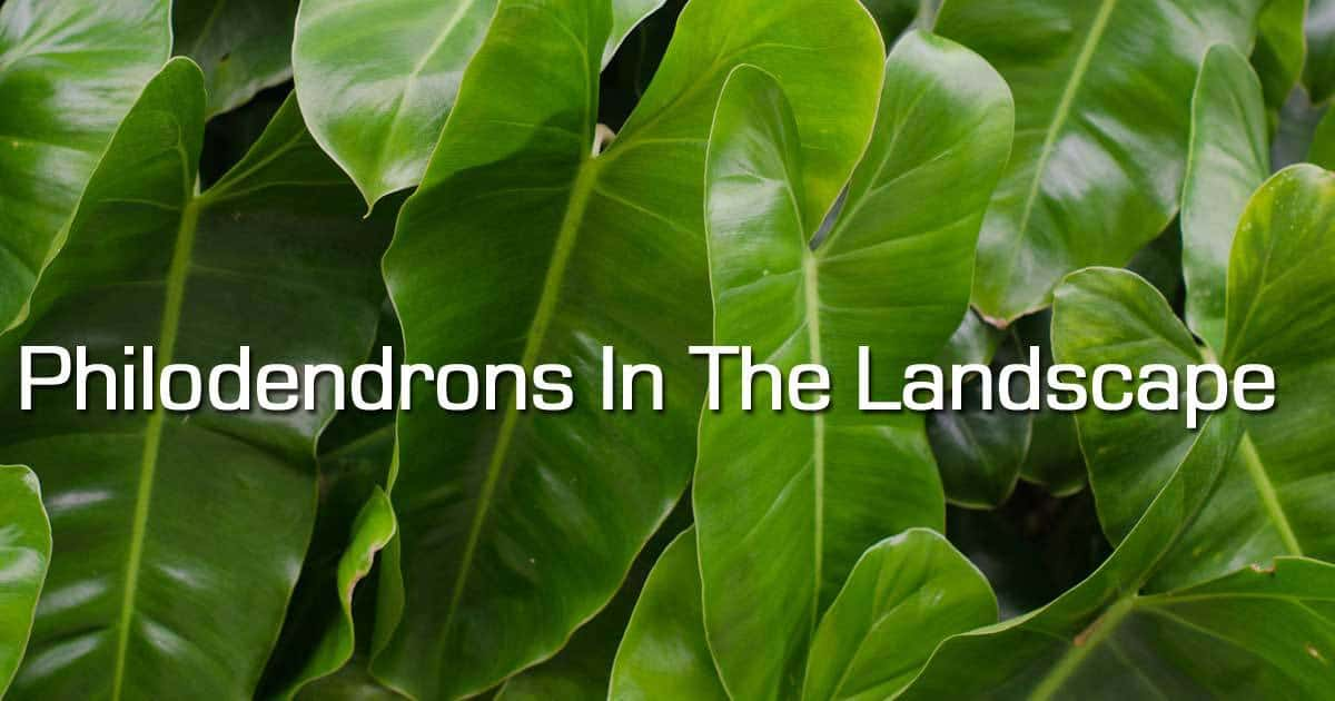 philodendron growing in landscape