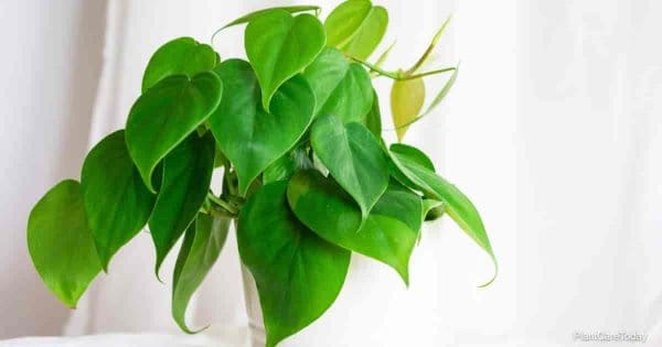 Philodendron scandens (Philodendron hederaceum) growing in a pot