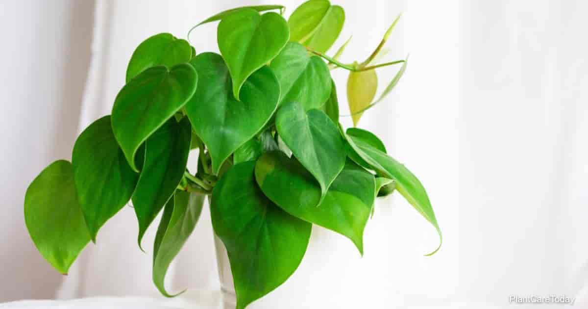 potted houseplant Philodendron scandens (Philodendron hederaceum)