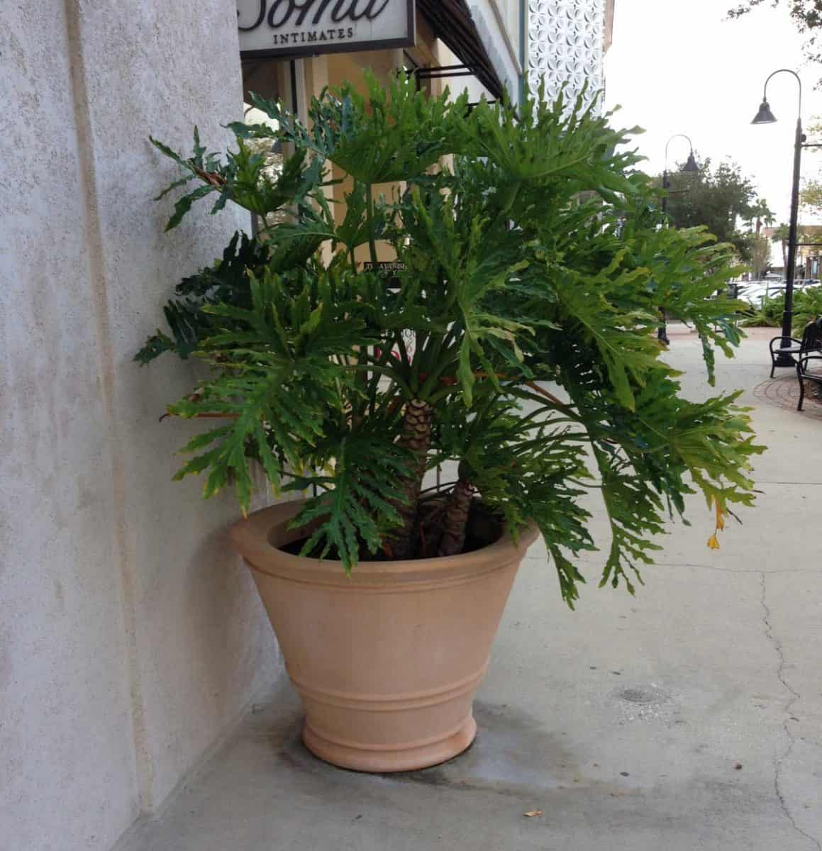 potted philodendron selloum Saint Johns