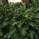 How To Grow Philodendron Xanadu