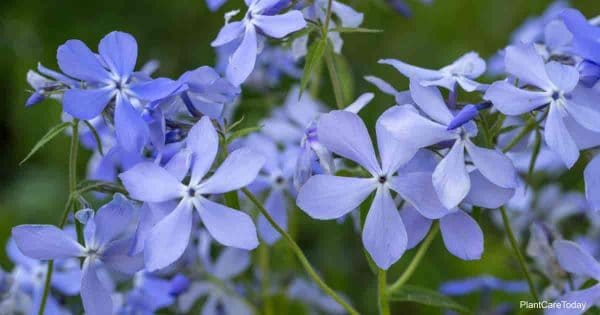 phlox divaricata with lilac colored flowers