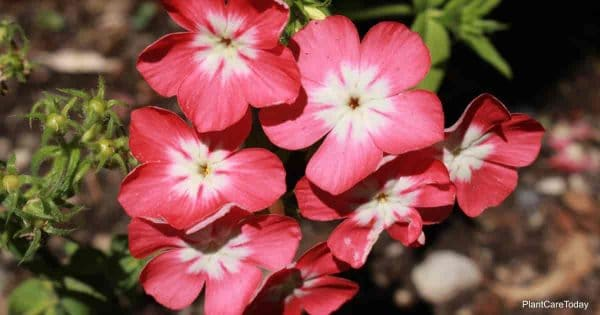 Pink white flowers of Phlox Drummondii