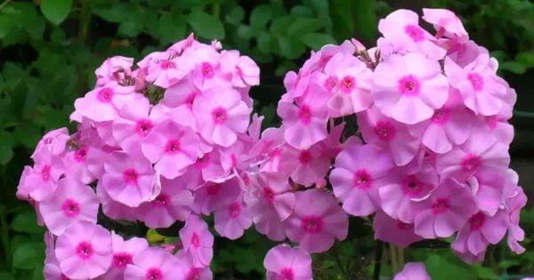 clusters of pink phlox flowers