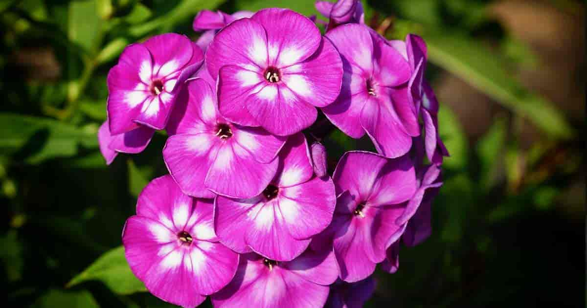 Blooming Garden Phlox [Phlox Paniculata]